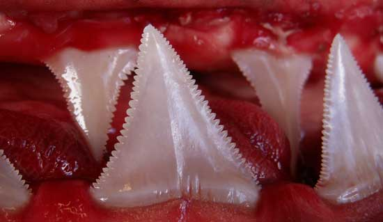 Shark Jaw and Shark Teeth Photo
