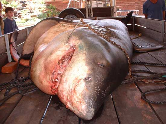 موضوع كامل و شامل عن سمك القرش